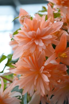 begonia orchid is spectacular series of cascading begonias