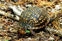 The Unsupervised Summers of My Youth Eastern Box Turtle, Life Of Crime, Tool Sheds, Reptiles, Lizards, Old Things, Youth, Fun Stuff, Turtles