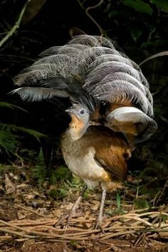The Lyre Bird, Australia, can mimic almost any sound, even car alarms and camera shutters.