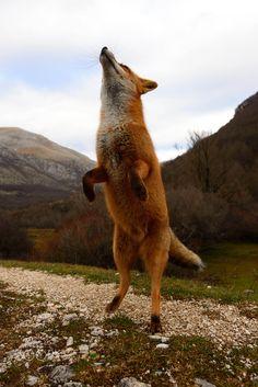 a curious fox - a fox sniffing the air Abruzzo National Park, Italy