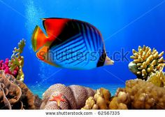 Threadfin butterflyfish (Chaetodon auriga) and coral reef, Red Sea, Egypt by Vlad61, via Shutterstock
