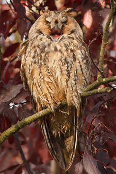Happy Long-eared owl