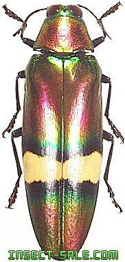 Chrysochroa perrotetii