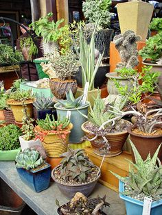Potted Specimens - Fast Draining Soil for Succulents Container Gardening Vegetables, Succulents In Containers, Container Flowers, Container Plants, Vegetable Gardening, Growing Succulents, Cacti And Succulents, Planting Succulents, Cactus Planters