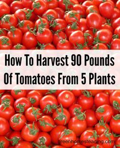 How To Harvest 90 Pounds Of Tomatoes From 5 Plants