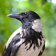 Black and White Crow?