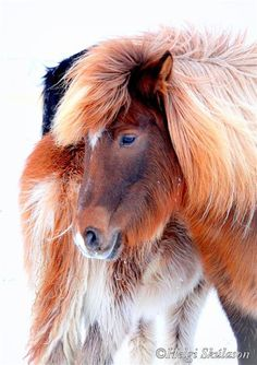 oh, for the love of the Icelandic Pony