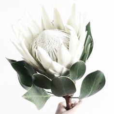 white king protea for a modern touch Protea Art, Protea Flower, Fall Flowers, White Flowers, Beautiful Flowers, Protea Wedding, King Protea, Organic Plants, Native Plants