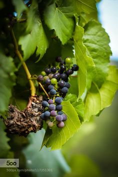 grape wait for the autumn - Pinned by Mak Khalaf Nature  by ChristineHutter