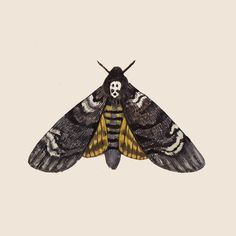 Day 48: don't be too scared... It's the Death's-head hawkmoth! This species has a human skull-shaped mark on its back and is famously featured in the movie poster for Silence of the Lambs. Creepy! But also kinda cool wouldn't you say? #kelzukisanimalkingdom #gouache #illustration #lepidoptera EDIT. Apparently this was my 666th post. Eerie!!!  by kelzuki