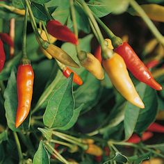 Pepper : Chili/Hot : Tabasco (Very Hot)