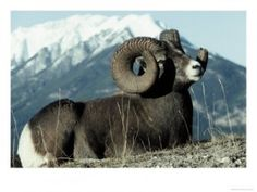 Rocky Mountain Bighorn Sheep I wanna see sheep! Animals Of The World, Animals And Pets, Cute Animals, Beautiful Creatures, Animals Beautiful, Majestic Animals, Beautiful Things, Big Game Hunting, Deer Hunting