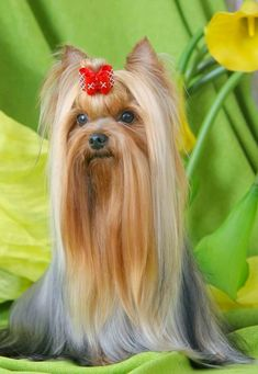 """Visit our site for more information on """"Yorkshire terrier puppies"""". It is actually an excellent place to get more information. Yorshire Terrier, Pitbull Terrier, Black Pug Puppies, Cute Puppies, Puppies Puppies, Yorkie Hairstyles, Yorky, Yorkie Puppy, Chihuahua"""
