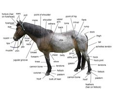 Horse body parts with a pony named Cherokee.