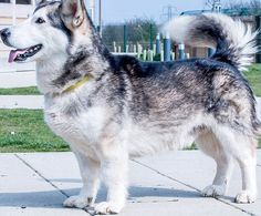 Max (pictured) is a 18.5in high fully-grown husky corgi cross. After being abandoned, he has now taken refuge at the Dogs Trust in Basildon, Essex
