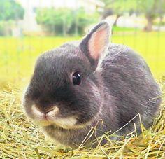 Broken Tort American Fuzzy Lop bunny - 4 weeks old. | I'm ...
