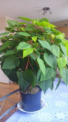 If you want to keep that poinsettia you bought this year over until next year here's what to do. Just in time for Christmas! Inspect the plant for bugs (most plants won't show bugs in the greenhouse but they will show up after about two...