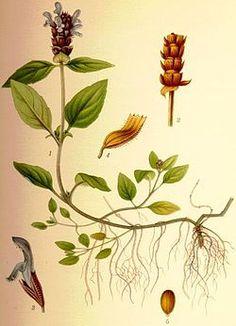 Prunella vulgaris brunört.jpg