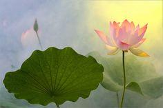 Lotus Flower Surreal Series: DD0A0280-1000 by Bahman Farzad, via Flickr