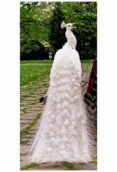 白孔雀(白変種)