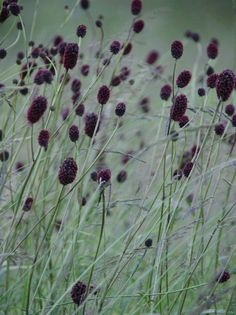 Perennials Sanguisorba officinalis 'Arnhem', gardening, texture, landscaping, landscape design a> Plant Design, Garden Design, Beautiful Gardens, Beautiful Flowers, Black Garden, Black Flowers, Ornamental Grasses, Plantation, Dream Garden