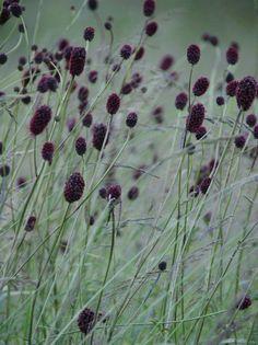 Sanguisorba officinalis 'Arnhem', gardening, texture, landscaping, landscape design
