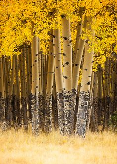 Aspen trees in fall. Valle Vidal unit of the Carson National Forest. by Adam Schallau