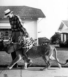 Pet lion Blondie, age 2, giving a piggy back ride to a young neighbor girl. Photograph by Joseph Scherschel. Graham, Texas, USA, September 1955.