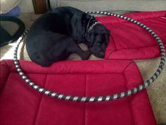 Dog in a hoop