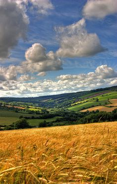 barley field in Ashcombe, South Devon, SW England