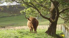 Wildlife watching in Perthshire #scotland #wildlife #scottish #animals #highlandcow
