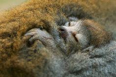 Детёныш лемура прижимается к своей матери в зоопарке в Дрездене, Германия.