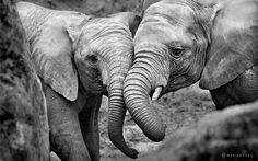 Elephants in Love Canvas Art - Marina Cano x Wild Animals Photography, Love Photography, Wildlife Photography, Photography Office, Landscape Photography, Beautiful Creatures, Animals Beautiful, Beautiful Birds, Baby Animals