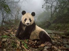 Picture of a giant panda in a forested enclosure in Wolong Nature Reserve, China
