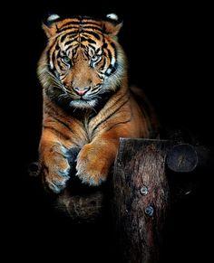 Hutan, one year old Sumatran tiger