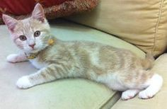 JAKE is an adoptable Domestic Short Hair Cat in Roanoke, VA. Jake is a playful kitten who is more than willing to take snuggle breaks. He is FeLV+ so would need to be the only cat or live with other F...