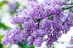 Blossoming Lilacs by Ksenia Smirnova on 500px