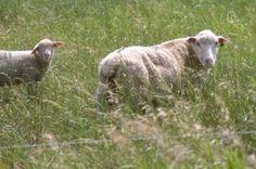 fiber livestock