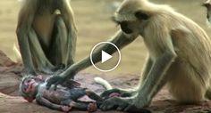 """Macacos Têm Emocionante Reação Ao Pensarem Que Macaco Robótico """"Morreu"""""""