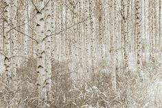 Quiet Birch Forest -             Wall Mural & Photo Wallpaper -           Photowall