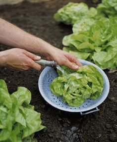 Rather than taking produce from your vegetable garden inside to rinse off, simply hose them off right over the plant itself. Use a perforated bowl to collect the veggies, and the water that drains through the bowl will water your plants. It's water time saving!
