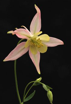 Aquilegia - what's not to love? Gorgeous.