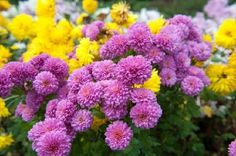 Chrysanthemum - Jigsaw Puzzles Online at JSPuzzles