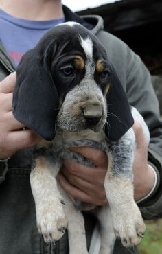 Bluetick Coonhound- I use to have one. Best dogs ever.