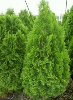 Emerald Green Arborvitae - Vivid evergreen with graceful branches that make a wonderful privacy hedge, accent or end piece. Conifer Trees, Trees And Shrubs, Trees To Plant, Garden Shrubs, Garden Trees, Lawn And Garden, Evergreen Garden, Evergreen Shrubs, Outdoor Plants