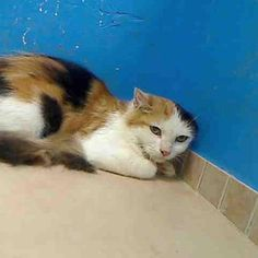 Cat on death row TO BE DESTROYED 9/22/12 NY* My name is JAQCULINE. My Animal ID # is A0945013. I am a female calico domestic sh mix. The shelter thinks I am about 8 MONTHS old.