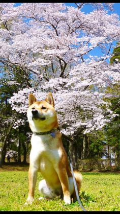Shiba&cherry blossoms.