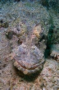 Camoflauge Crocodile fish