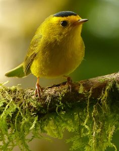 A Wilson's Warbler of willow thickets in the West and across Canada, the Wilson's Warbler is easily identified by its yellow underparts and black cap.