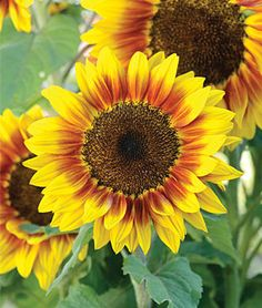 Solar Flash hybrid dwarf sunflower (Helianthus annus) This variety grows up to 24 inches. We are planting 10 varieties of dwarf sunflowers as a temporary filler for the flower bed, as we can't plant bulbs until October or November in our hot desert climate.